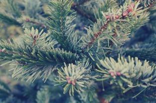 spruce-1283984_960_720